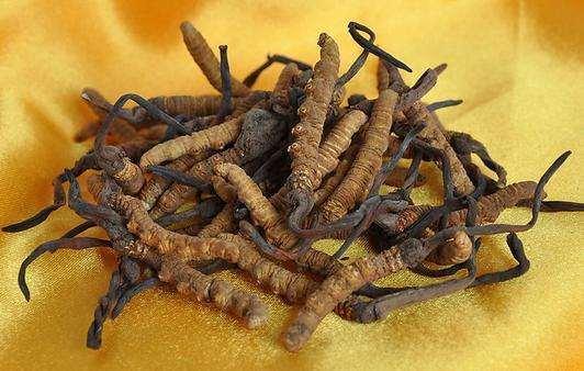 蟲草的功效與作用及食用方法