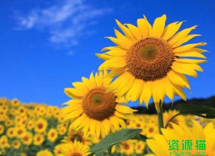 向日葵会一直跟着太阳的方向转来转去吗